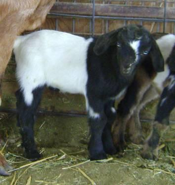Pygmy Goats Pets And Animals For Sale In The Usa Puppy And