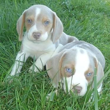 Blue Eyed Extremely Rare Lilac Colored Beagles With Show