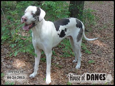 Blue-eyed Harlequin Great Dane Male - Driscol