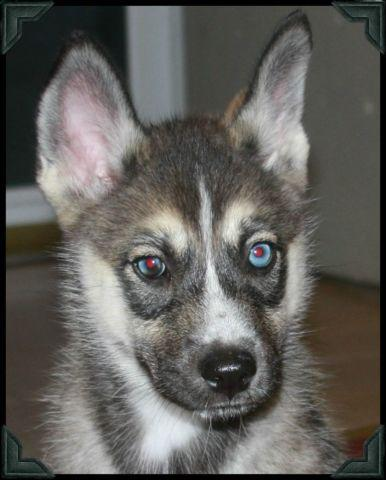 Blue Eyed Huskita Puppy For Sale In Brighton Michigan Classified