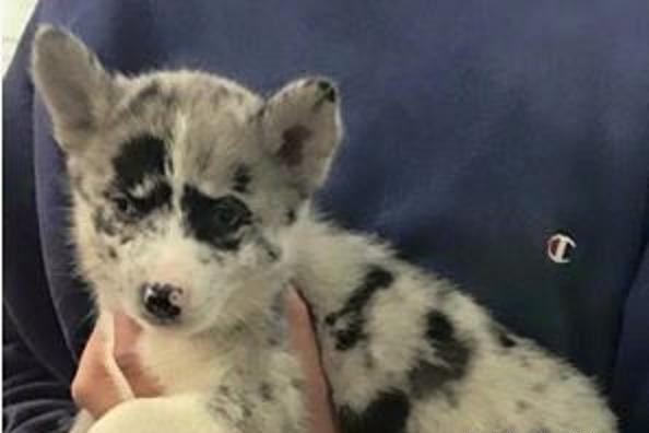 Pomsky Pets And Animals For Sale In The Usa Puppy And Kitten