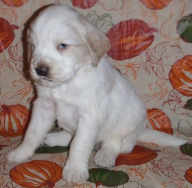 Blue eyed Sport Retriever puppy! (Miniature Golden Retriever)