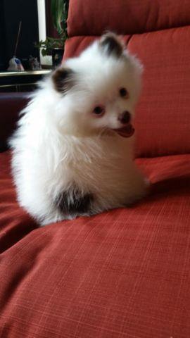 Blue Eyed White Teddy Bear Male Pomeranian Puppy For Sale