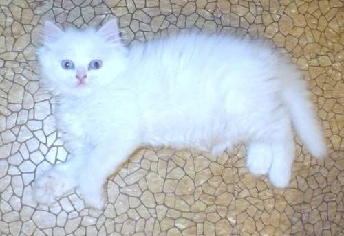 Blue Eyes Persian & Ragdoll Kitten 10 weeks old.