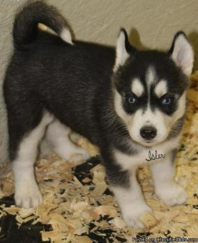Blue Eyes Siberian Husky Puppies For Sale In Nashville Tennessee
