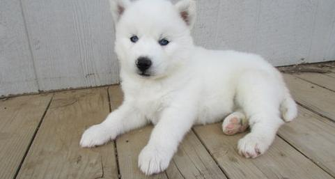 Blue Eyes Siberian Husky Puppies For Adoption For Sale In Playa Del