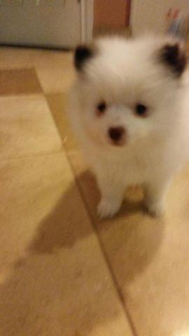 Teddy Bear Face Pomeranian For Sale