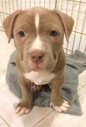 American Pitbull Terrier Puppy Classifieds Buy Sell American