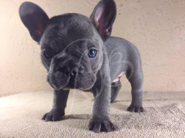 Blue French Bulldog Puppies Pets And Animals For Sale In Florida
