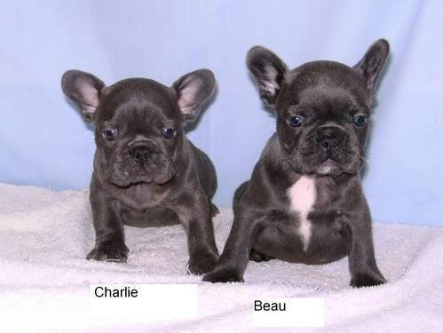 Blue French Bulldog Puppies - AKC