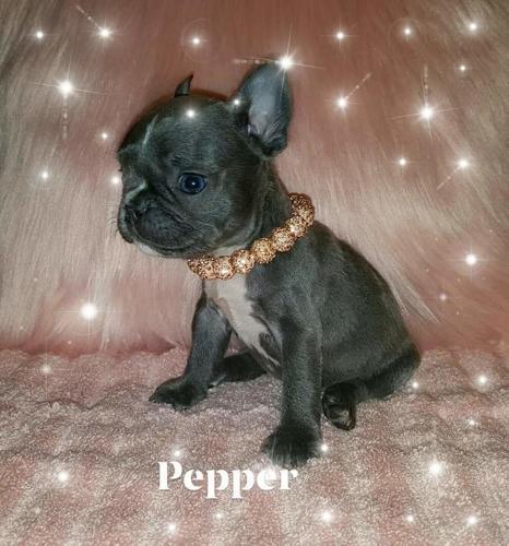 Blue French Bulldog Puppies ---