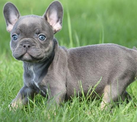 French Bulldog For Sale In Pennsylvania Classifieds Buy And Sell