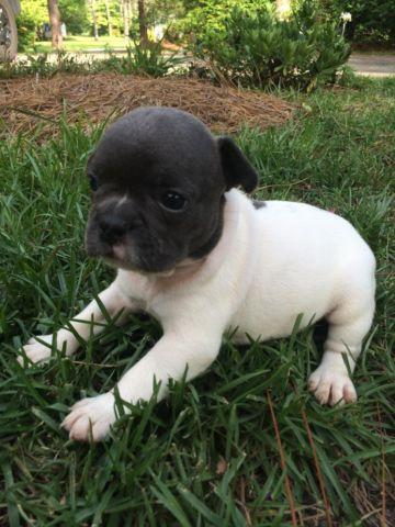 french bulldog puppies nc blue french bulldog puppies for sale for sale in raleigh 7677