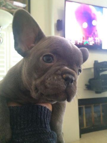 Blue FRENCH BULLDOG puppy AKC bulldogs for Sale in Ontario