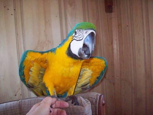 Blue/Gold Female Macaw with cage, toys.