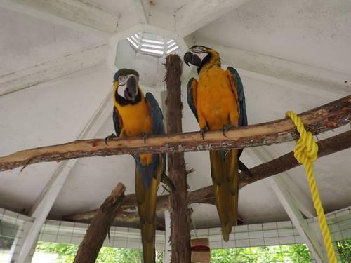 Blue & Gold Macaw Bonded Pair REDUCED to 1500 00