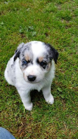 Australian Shepherd Blue Heeler Puppies 3