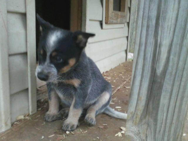 Blue heeler puppies for sale in baneberry tennessee classified