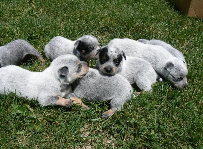 Blue heeler puppies for sale in allegan michigan classified