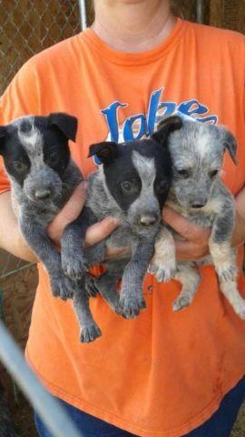 Blue Heeler Puppies For Sale In Pueblo Colorado Classified