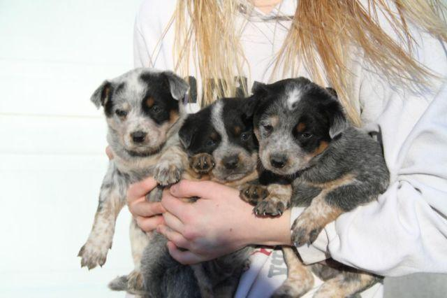Blue Heeler Puppies For Sale In Minnesota Classifieds Buy And Sell