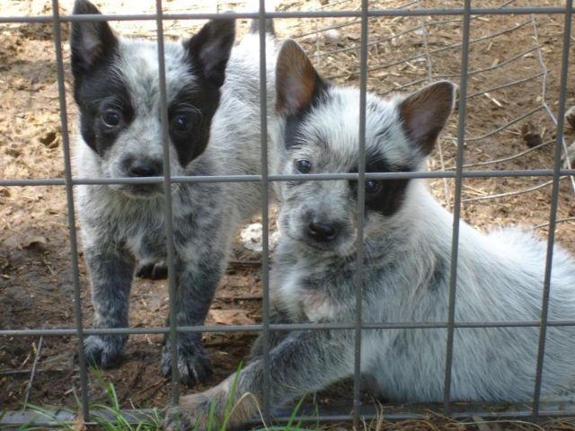 Blue Heelers For Sale : Blue heeler puppies sw michigan for sale in grand junction michigan