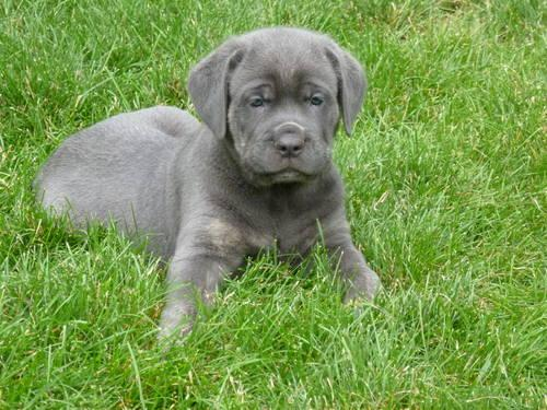 Cane corso pets and animals for sale in pennsylvania puppy and cane corso pets and animals for sale in pennsylvania puppy and kitten classifieds buy and sell kittens and puppies americanlisted malvernweather Image collections