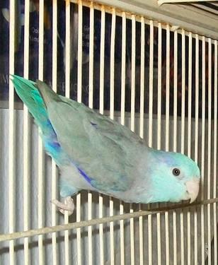 Blue male parrotlet, breeder for Sale in Sacramento