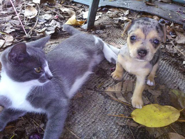 Blue Merle Applehead Chihuahua Approx  5lbs Full Grown