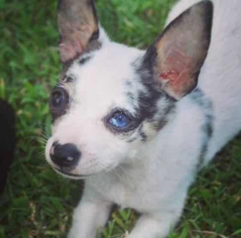 blue merle chihuahua for sale blue merle chihuahua puppy for sale for sale in norman 7510