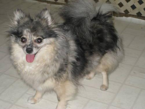blue pomeranian for sale blue merle female pomeranian for sale in midland michigan 8431