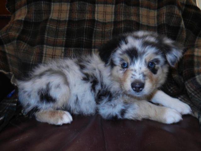 Blue Merle M-Australian Shepherd Puppy-8 Weeks Old for ...