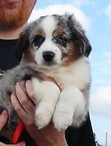 BLUE MERLE MINI AUSSIE MALE PUP WITH 2 BLUE