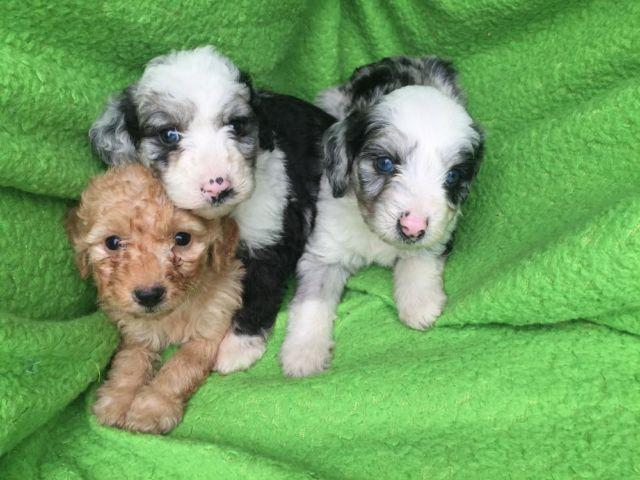 Blue Merle Mini Goldendoodle Puppies For Sale In Crosby