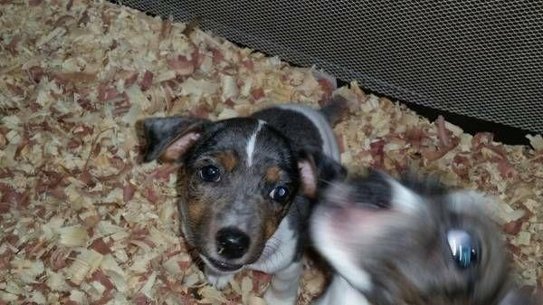 Blue Merle Small Jack Russell Puppies For Sale In