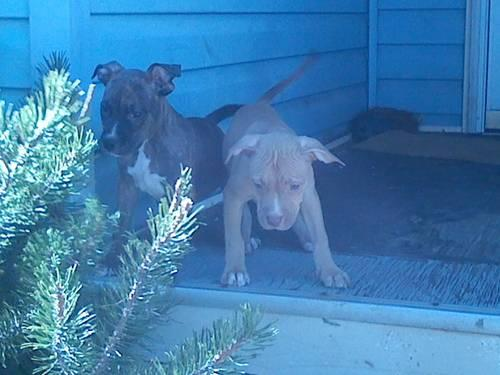 Blue Nose American Pitbull Terrier Puppies