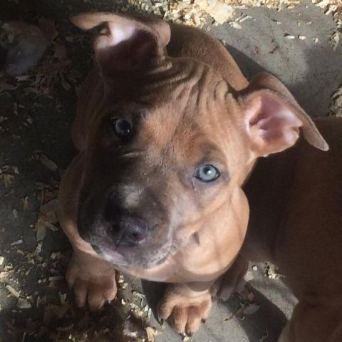 Blue Tri Pitbull Puppies For Sale In California Classifieds Buy