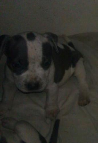 Blue Nose GOTTI Pitbull Puppies