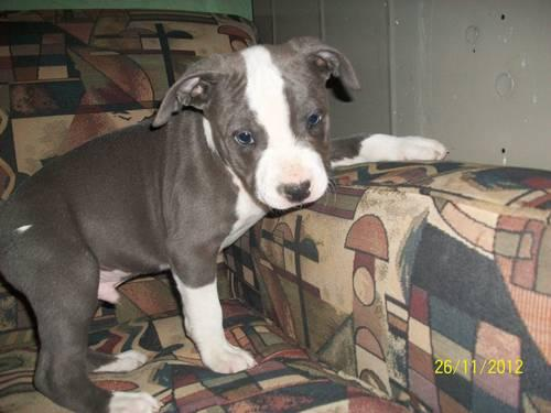 Blue Nose Pit Bull Puppies For Sale In Grand Junction Colorado Classified Americanlisted Com