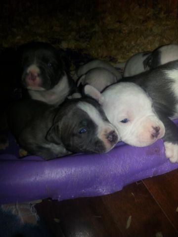Blue Nose Pit Bull Puppies For Sale In Rockford Illinois