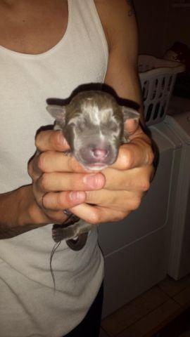 Blue Nose Pitbull For Sale In Denver Colorado Classified Americanlisted Com