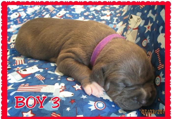 *BLUE PIT BULL PUPPIES*