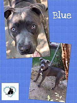 Blue Pit Bull Terrier Adult Male