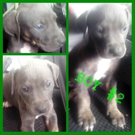 Blue Pitbull Puppies for Sale in Dallas, Texas Classified