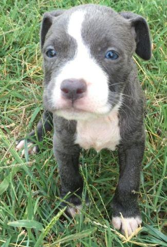 Blue Pitbull Puppies On Sale For Sale In Alexandria Virginia