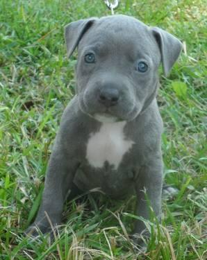 Blue Pitbull Puppies Ukc Registered For Sale In Conroe Texas Classified Americanlisted Com