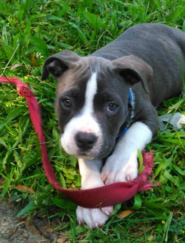 Red Nose Pitbulls For Sale In Illinois Classifieds Buy And Sell In