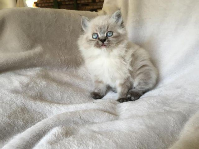 Blue Point Himalayan Doll Face Teacup Persian Male Kitten (Kai)