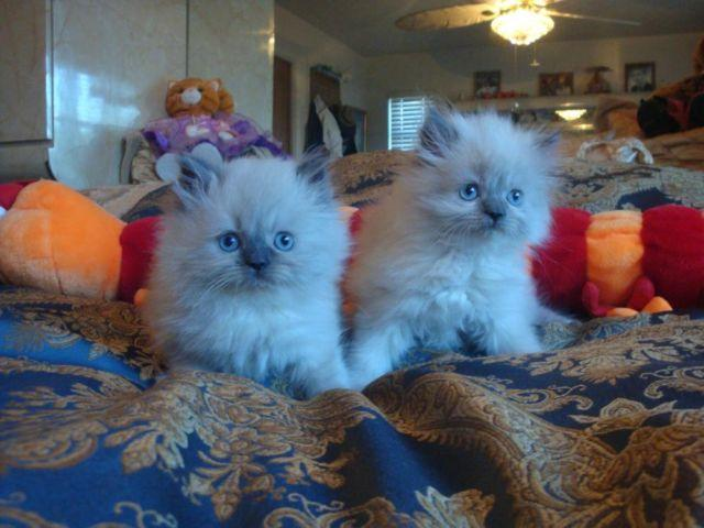 -Persian Cats &Kittens:CFA,Health Certif,Tampa Bay for Sale in Tampa ...