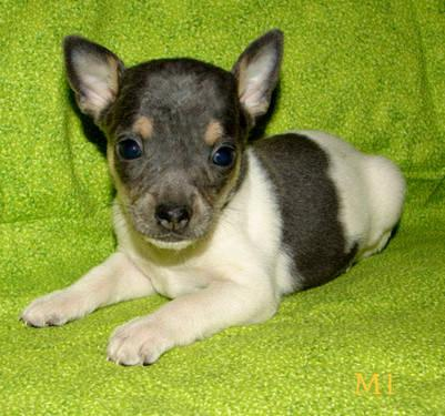Blue Rat Terrier Puppy For Sale In Greenback Tennessee